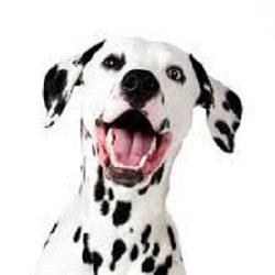 Smiling Dalmantion Dog Photo